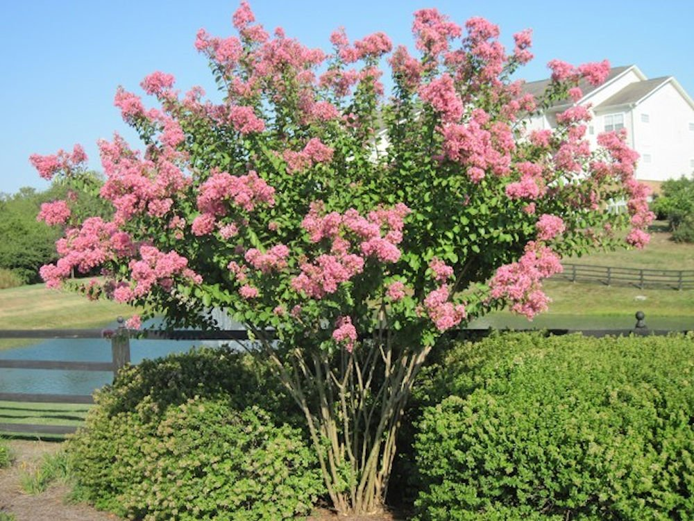 LARGE HOPI CRAPE MYRTLE, 2-4ft Tall When Shipped, Matures 8-10ft, 1 tree, Beautiful Bright Pink, (Shipped Well Rooted in Pots with Soil)