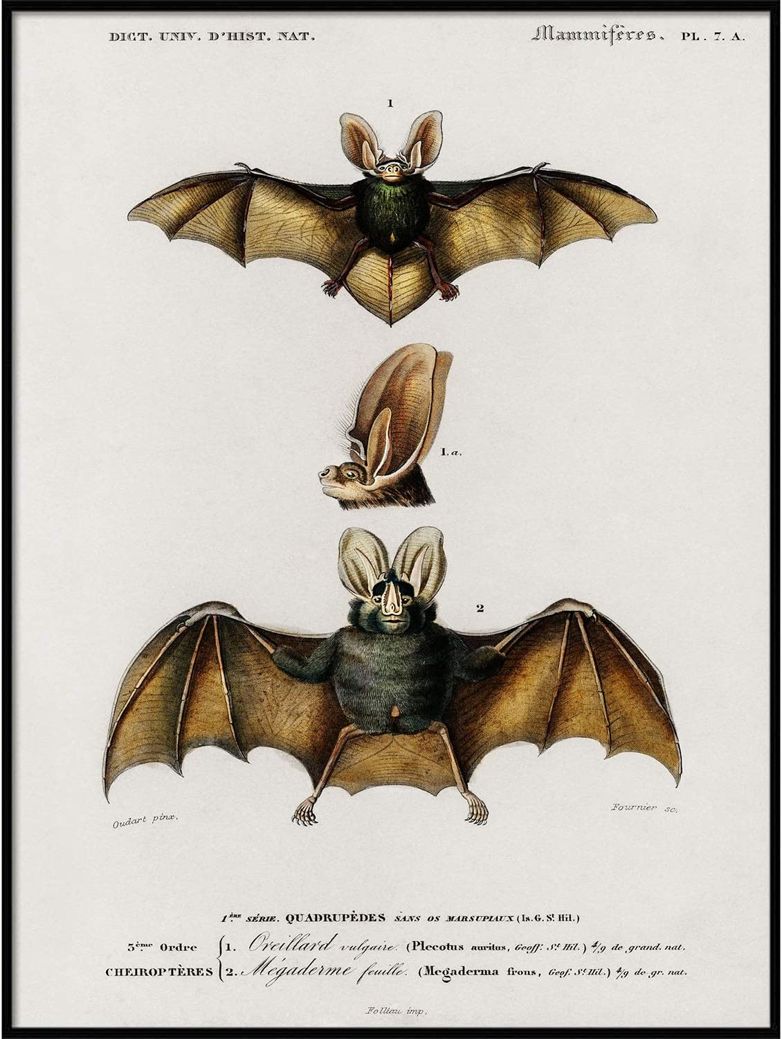 Bat Print, Antique Animal Painting, Vintage Drawing Poster Wall Art Decor, Long-Eared Bat, Zoology zoological, Natural History | C187 8.5x11