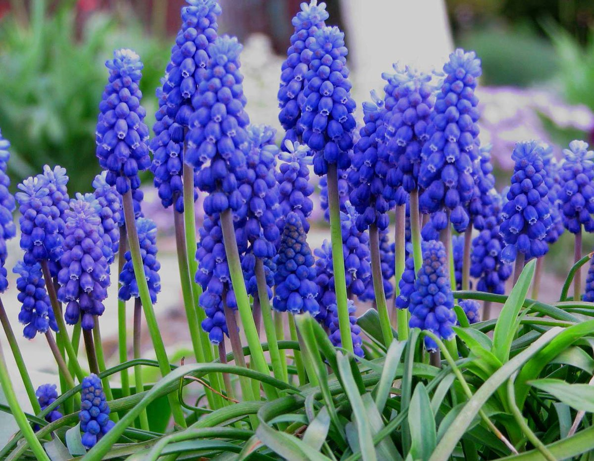 10 bulbs Grape Hyacinth armeniacum Muscari armeniacum