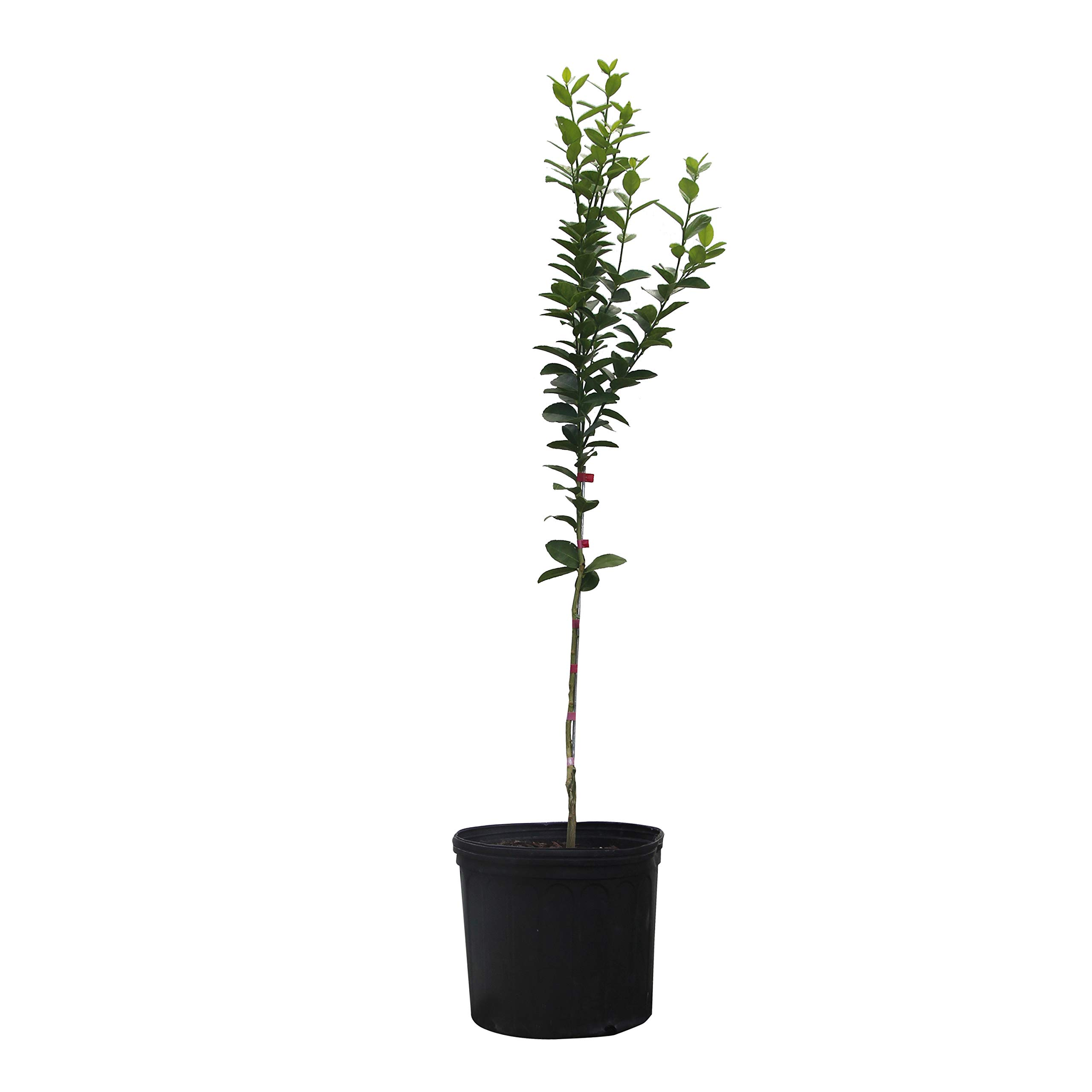 Key Lime Tree - Dwarf Fruit Trees - Indoor/Outdoor Live Potted Citrus Tree - 2-3 ft. Tall Trees - Cannot Ship to FL, CA, TX, LA or AZ
