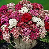 Flower Seeds - Sweet William Seeds- Mixed Colors - Dianthus barbatus - Biennial - Liliana's Garden