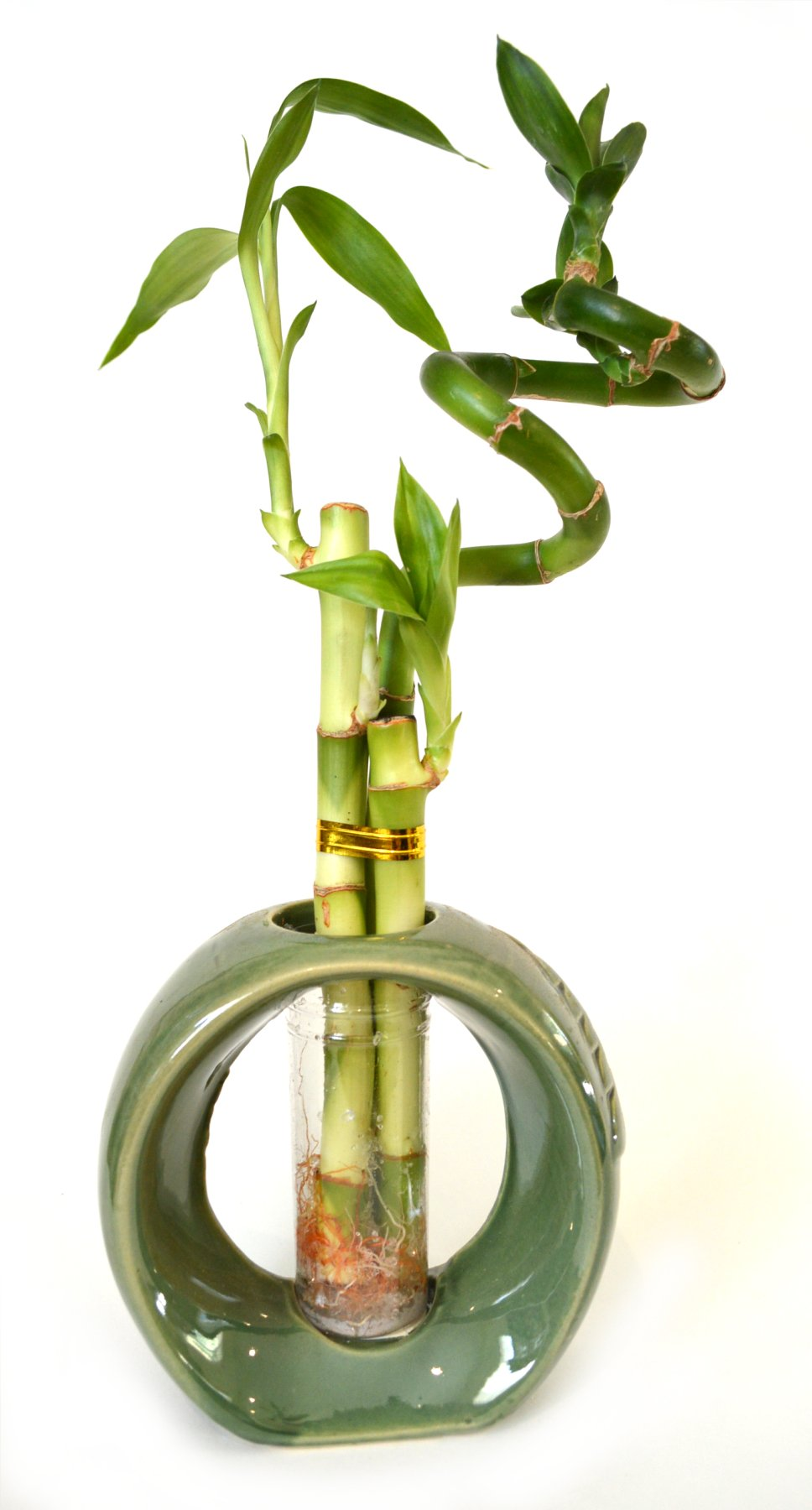 9GreenBox - Lucky Bamboo - Spiral Style with Hollow Ceramic Vase Green