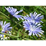 Chicory (2000 to 50 LB seeds) Easy Grow Bulk Pick Size Plot Flower 207 (2000 seeds)