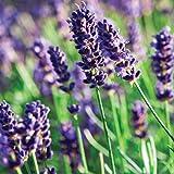 Munstead Lavender Herb - Perennial - Relaxing - Live Plant -Quart Pot