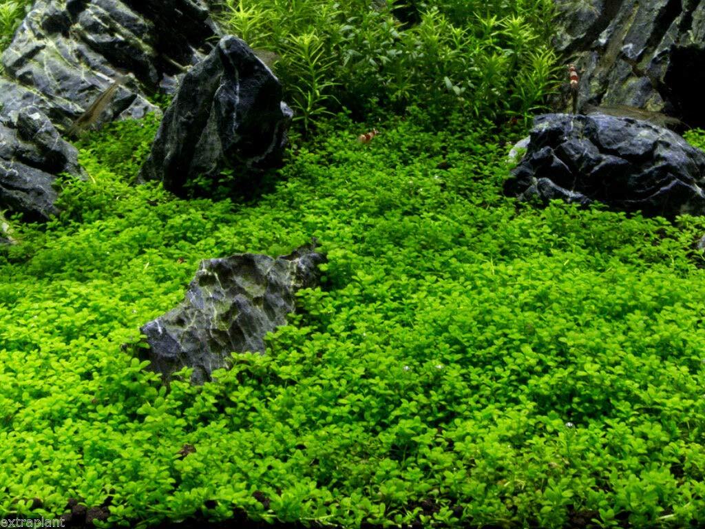 4 Cup Dwarf Baby Tears Tissue Culture Hemianthus Callitrichoides Aquarium Plants by SS0156