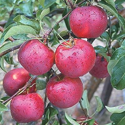 Pixie Crunch Apple Fruit Tree, Live Bareroot Tree (1-Pack) : Garden & Outdoor