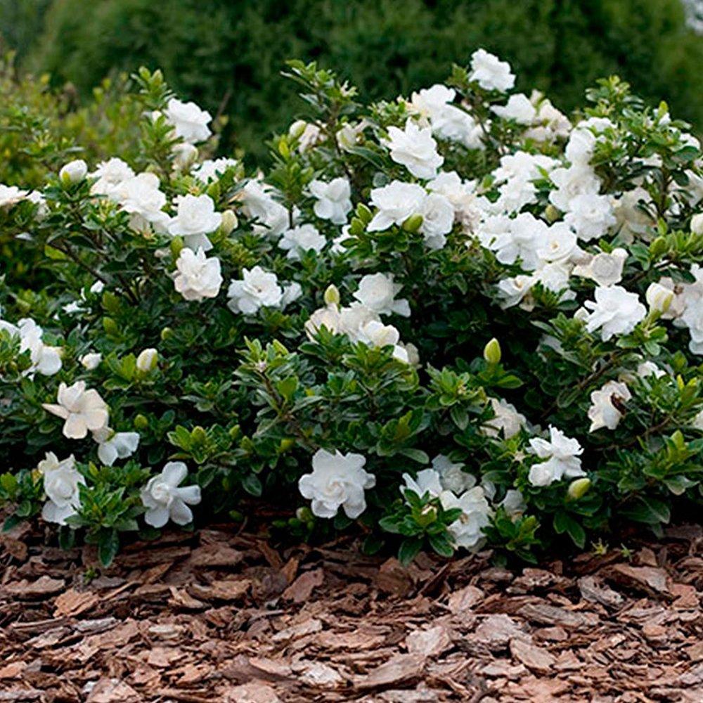 Picture of Live Gardenia aka Gardenia jas. 'Grand Star' Plant Fit 5 Gallon Pot