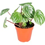 Peperomia Watermelon - 4'' from California Tropicals