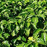 "Noni Tree in a 4"" Pot (Morinda citrifolia) 6""-8"" Live Noni Tree Plant - Free USPS Priority 2-3 Day Shipping Included"