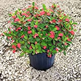 Euphorbia milii, Crown of Thorns - 3 Gallon Live Plant - 4 pack
