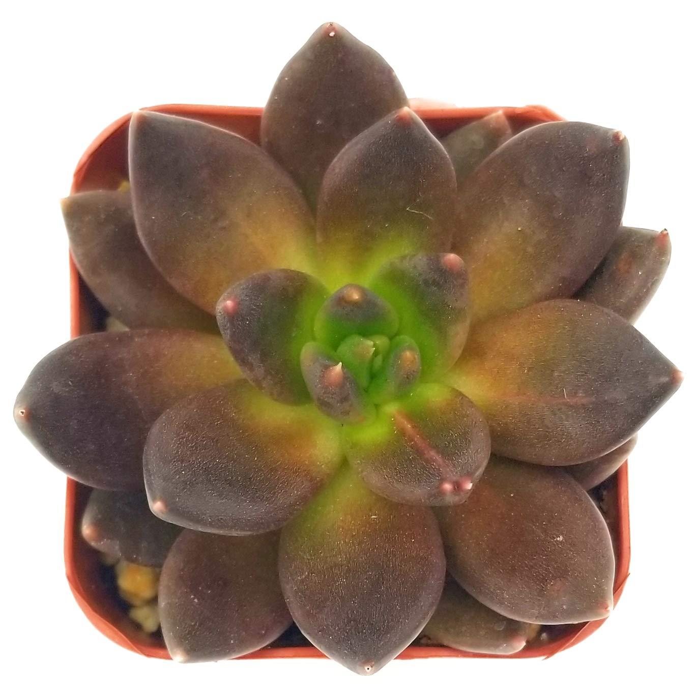 Fat Plants San Diego Live Echeveria Succulent Plant (2 inch, Black Prince)