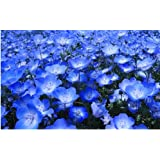 Stupid Girl Heirloom Baby Blue Eyes Nemophilia Flowers, 50 Seeds