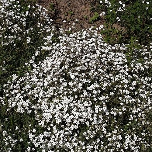 Gypsophila repens Teppich Schleierkraut Compacta Plena
