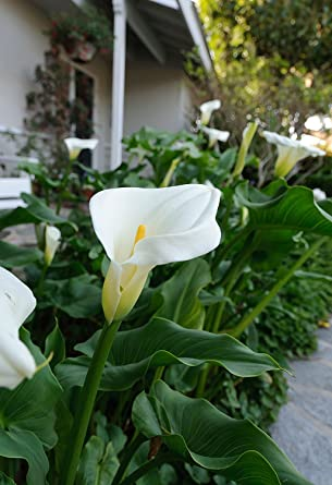 Calla Lilies Aethiopica White Giant 3 Large Bulbs 15 Cm Bulb