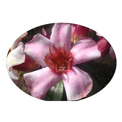 Dart Vine Fragrant Semi Tropical Live Plant Climbing Oleander Rose Allamanda Strophanthus Pink Flower Starter Size 4 Inch Pot Emerald TM : Garden & Outdoor