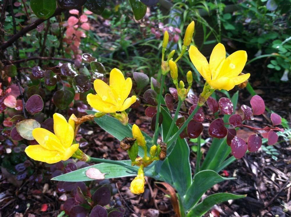 Starter Plant Belamcanda chinensis Lily Hello Yellow TkGlavines