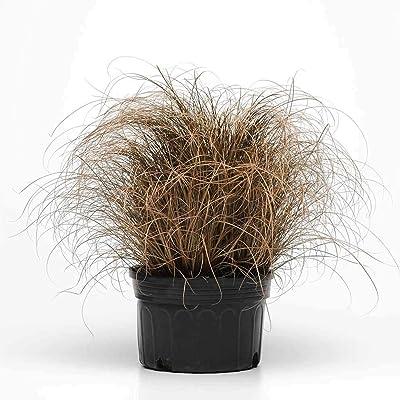 Carex Bronco Ornamental Grass Seeds - 100 Seeds - Decorative Grasses : Garden & Outdoor