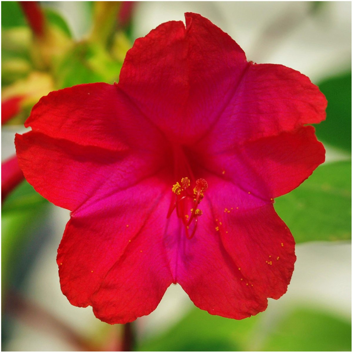 Amazon Package Of 60 Seeds Red Four O Clock Mirabilis