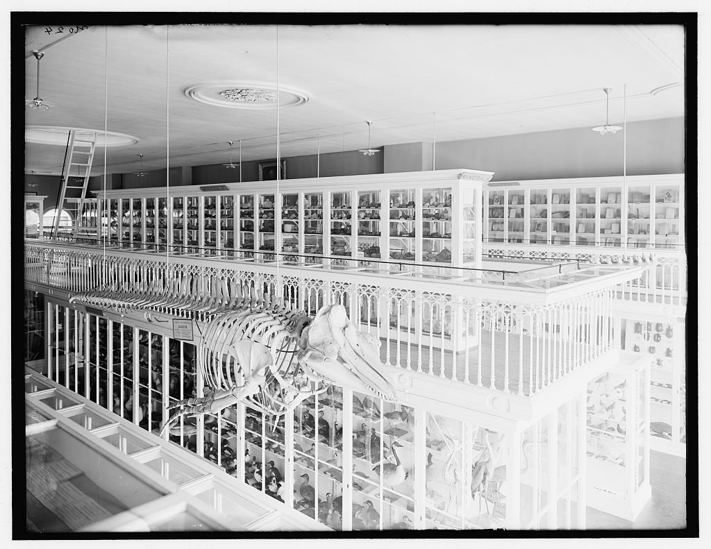 Vintography 24 x 30 Giclee Unframed Photo Whale Skeleton Bird exhibits East India Marine Hall Peabody Museum Salem Salem Mass 1910 Detriot Publishing co. 99a