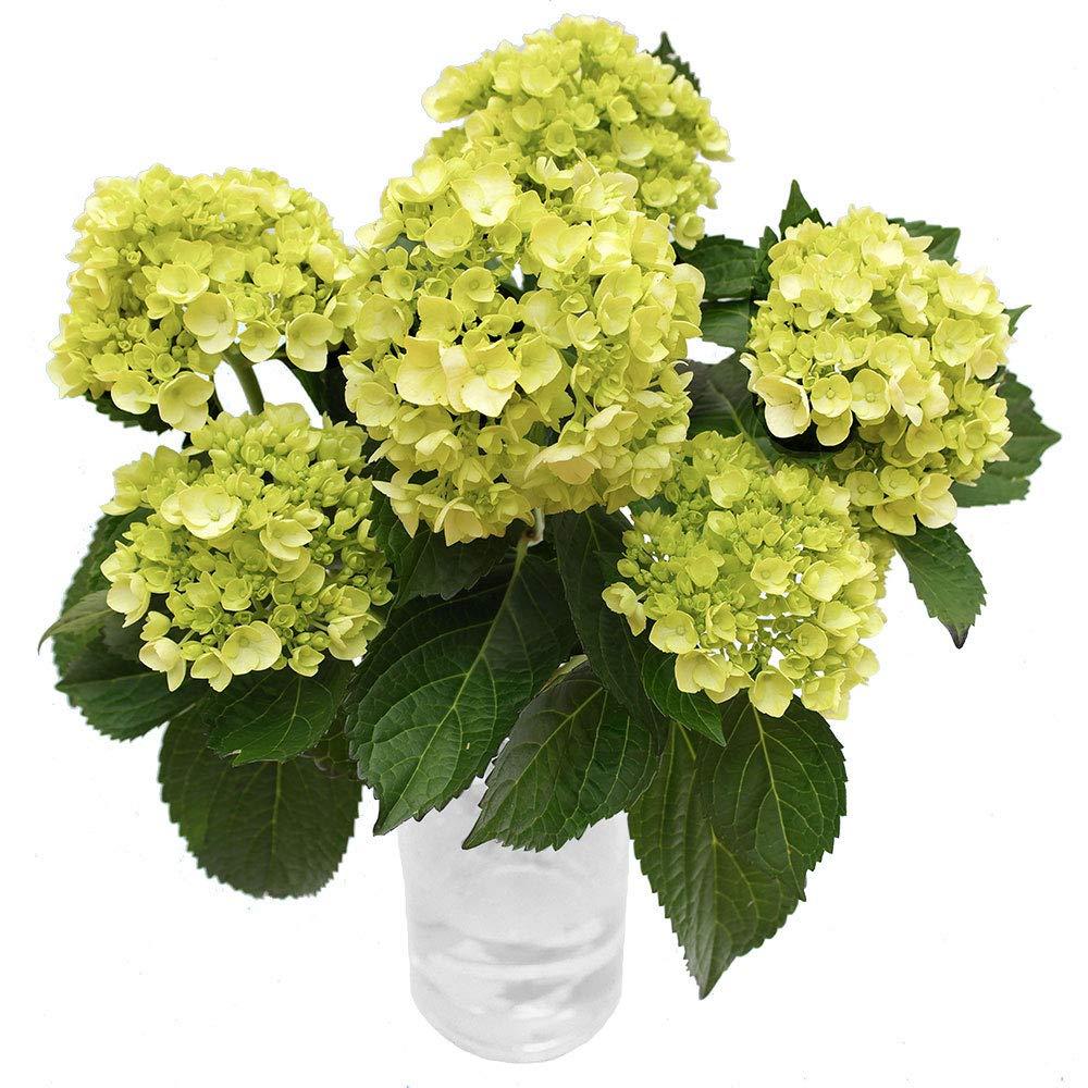 GlobalRose 10 Fresh Cut Green Mini Hydrangeas - Fresh Flowers For Weddings or Anniversary. by GlobalRose (Image #3)