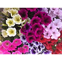 Petunia,Surfinia Pack 6 plantas 14 cm ø - Vipar Garden 11