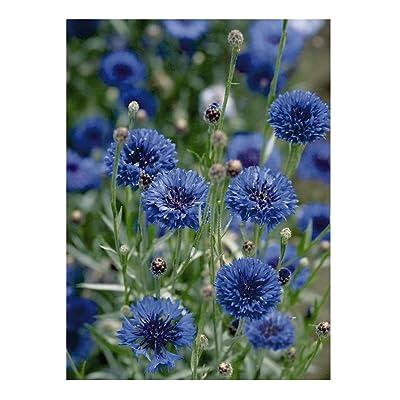 David's Garden Seeds Flower Centaurea Florist Blue Boy 1817 (Blue) 100 Non-GMO, Heirloom Seeds : Garden & Outdoor