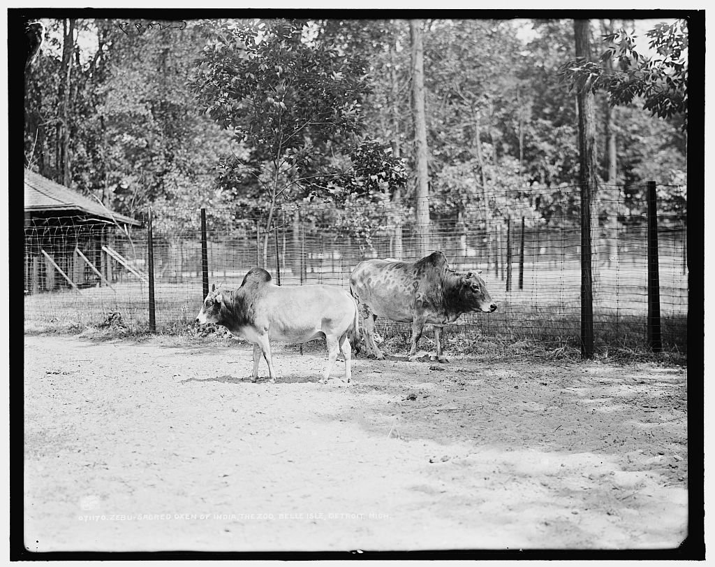 Vintography 8 x 10 Reprinted Old Photo Zebu Sacred Oxen India The Zoo Belle Isle Park Detroit Mich. 1918 Detriot Publishing co. 43a