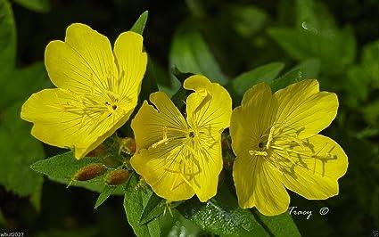 Amazon primrose seeds showy evening yellow winter hardy to primrose seeds showy evening yellow winter hardy to zone 4perennial flowers mightylinksfo