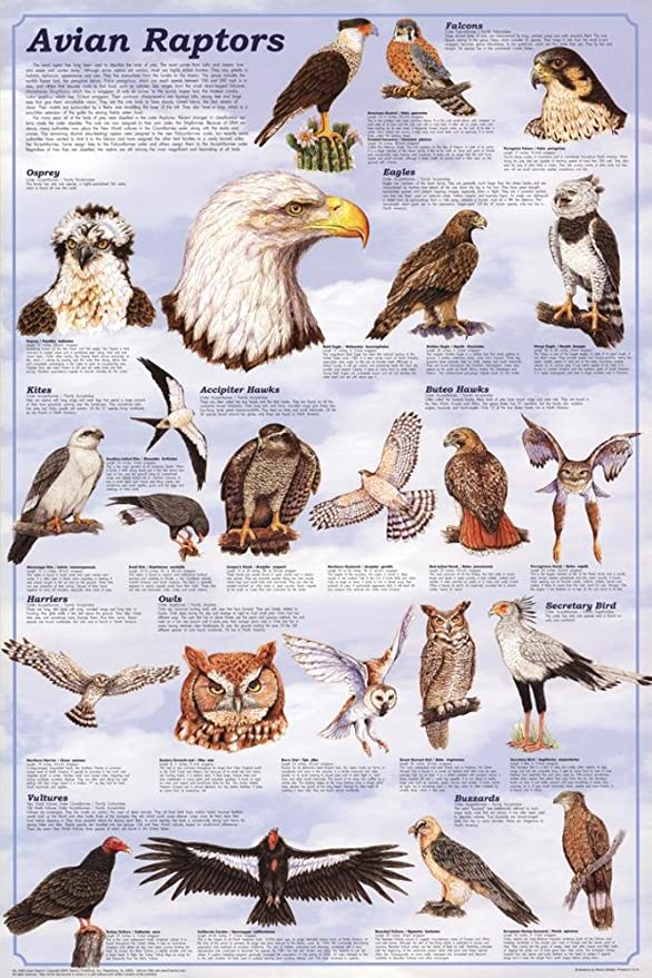 Amazon Com Avian Raptors Birds Of Prey Educational Science Chart Poster 24 X 36in Prints Posters Prints