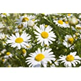 Common German Chamomile Flower/Herb Seeds, 1000 Heirloom Seeds Per Packet, Non GMO Seeds
