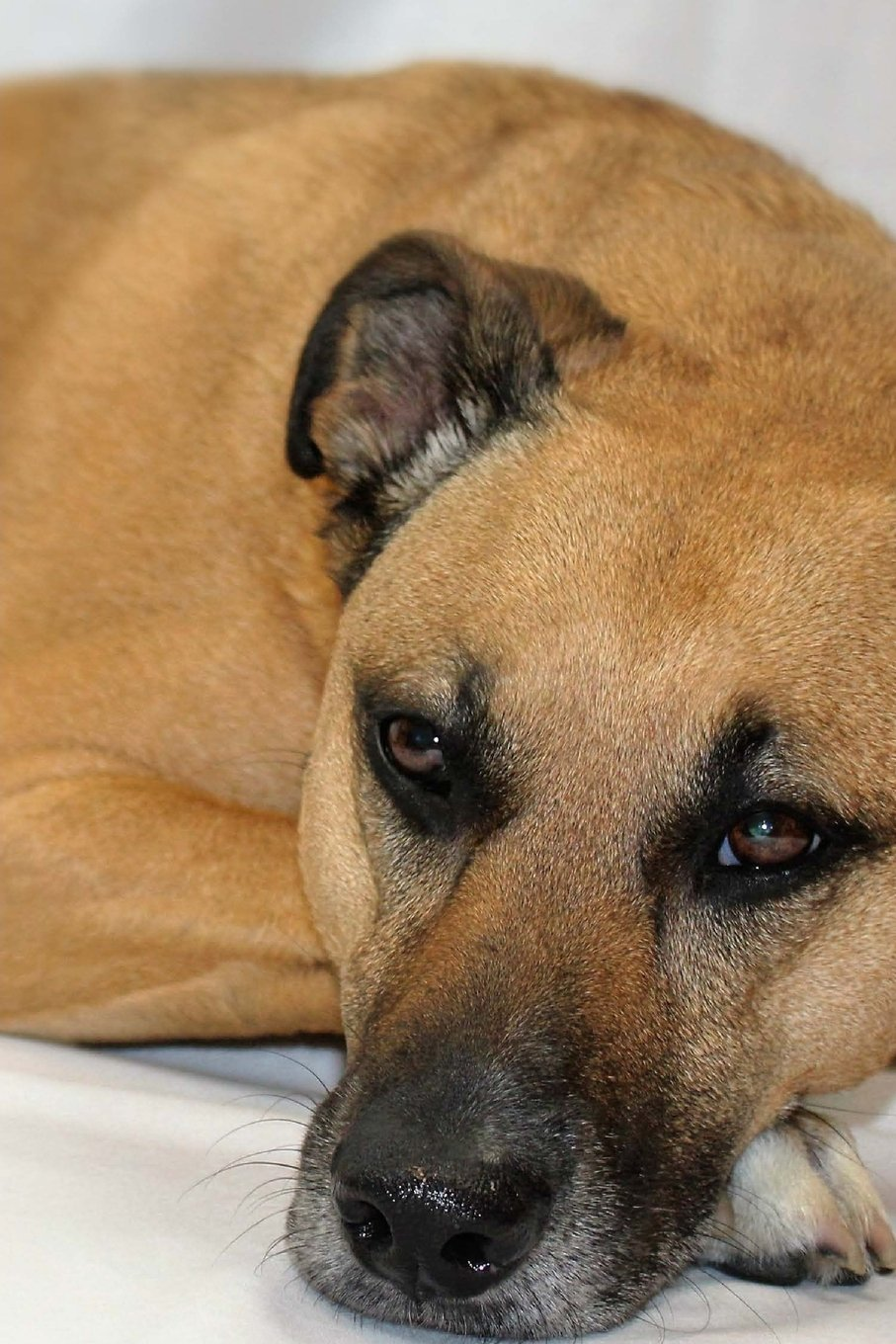 Black Mouth Cur Dog Laying Down Journal: Take Notes, Write Down Memories in this 150 Page Lined Journal pdf epub