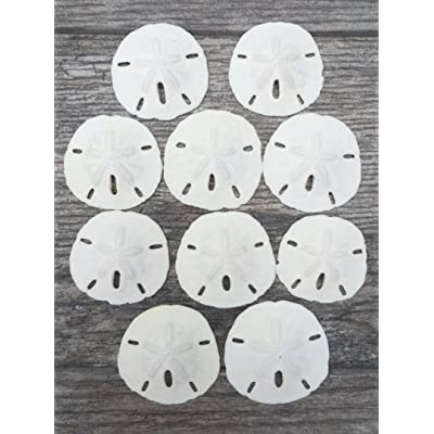"Sand Dollar | Real Sand Dollars 3""-3 1/2"" (Set of 10) 