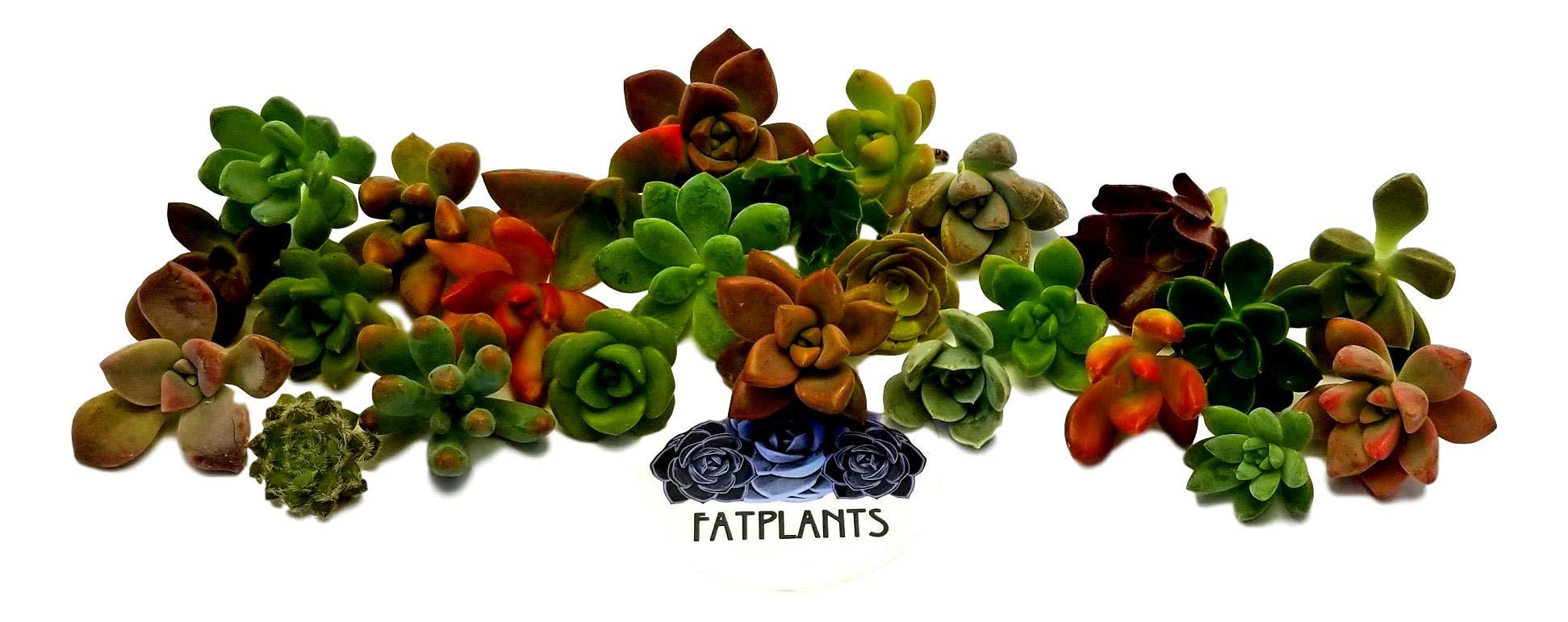 Fat Plants San Diego Miniature Rosette Succulent Cuttings (25) by Fat Plants San Diego