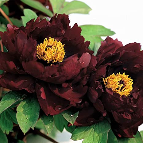 Peony Roots Charm Perennial Impressive Plant Giant Red Flower Bonsai Garden Home