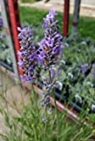 """Findlavender - Lavender French PROVENCE (Blue Flowers) - Very Fragrant - 4"""" Size Pot - Zones 5 - 11 - Bee Friendly - Attract Butterfly - Evergreen Plant - 1 Live Plant"""