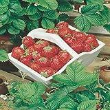 Semente de Morango Vermelho Ruge - Embalagem 50mg