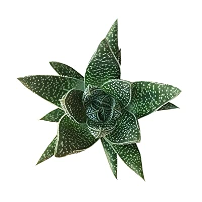 Gasteria Flow Aloe Relative Dark Green Triangular Shaped Leaves (2 inch) : Garden & Outdoor