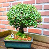 Ulmen Bonsai in Baumform 20cm - 1 baum