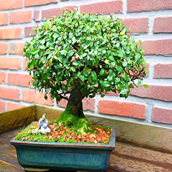 Bonsai baum garten  Ulmen Bonsai in Baumform 20cm - 1 baum: Amazon.de: Garten