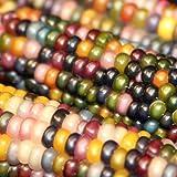 Brightup 100 Corn grain Seeds, Vegetable Seeds Garden Plant