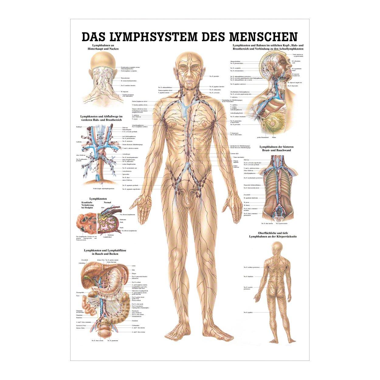 Gemütlich Lymphknoten Im Hals Anatomie Galerie - Physiologie Von ...