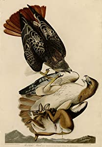 Berkin Arts John James Audubon Giclee Print On Canvas-Famous Paintings Fine Art Poster-Reproduction Wall Decor(Red Tailed Hawk) Large Size 39 x 56.2inches