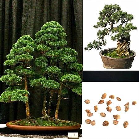 Japanese White Pine Bonsai Tree No 28 Pinus Parviflora