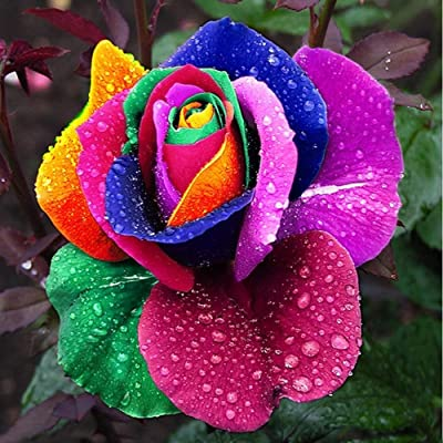 FHN2020 300 Pcs Beautiful Rainbow Rose Seeds Multi-Colored Rose Seeds Rose Flower Seeds: Home & Kitchen