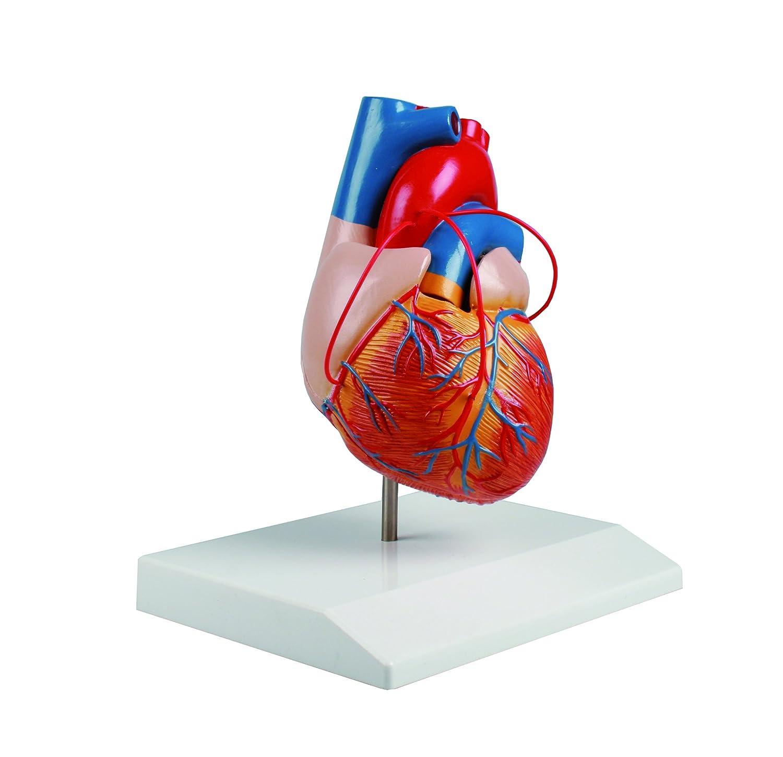 バイパス付心臓2分解モデル 80×80×140 /8-8316-01   B01LPFXS3Y