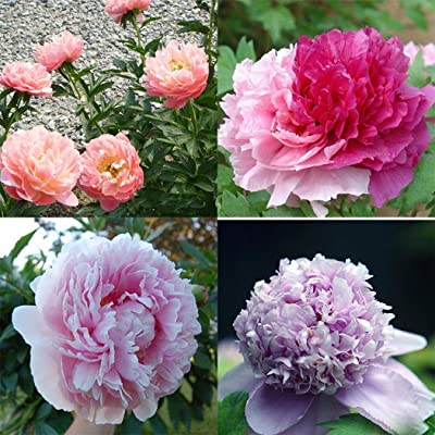 Humany flowerseeds- Rare Peony Seeds, Paeonia Flower Ornamental Peony Flowers Perennial Flower Seeds for barkon, Garden : Garden & Outdoor