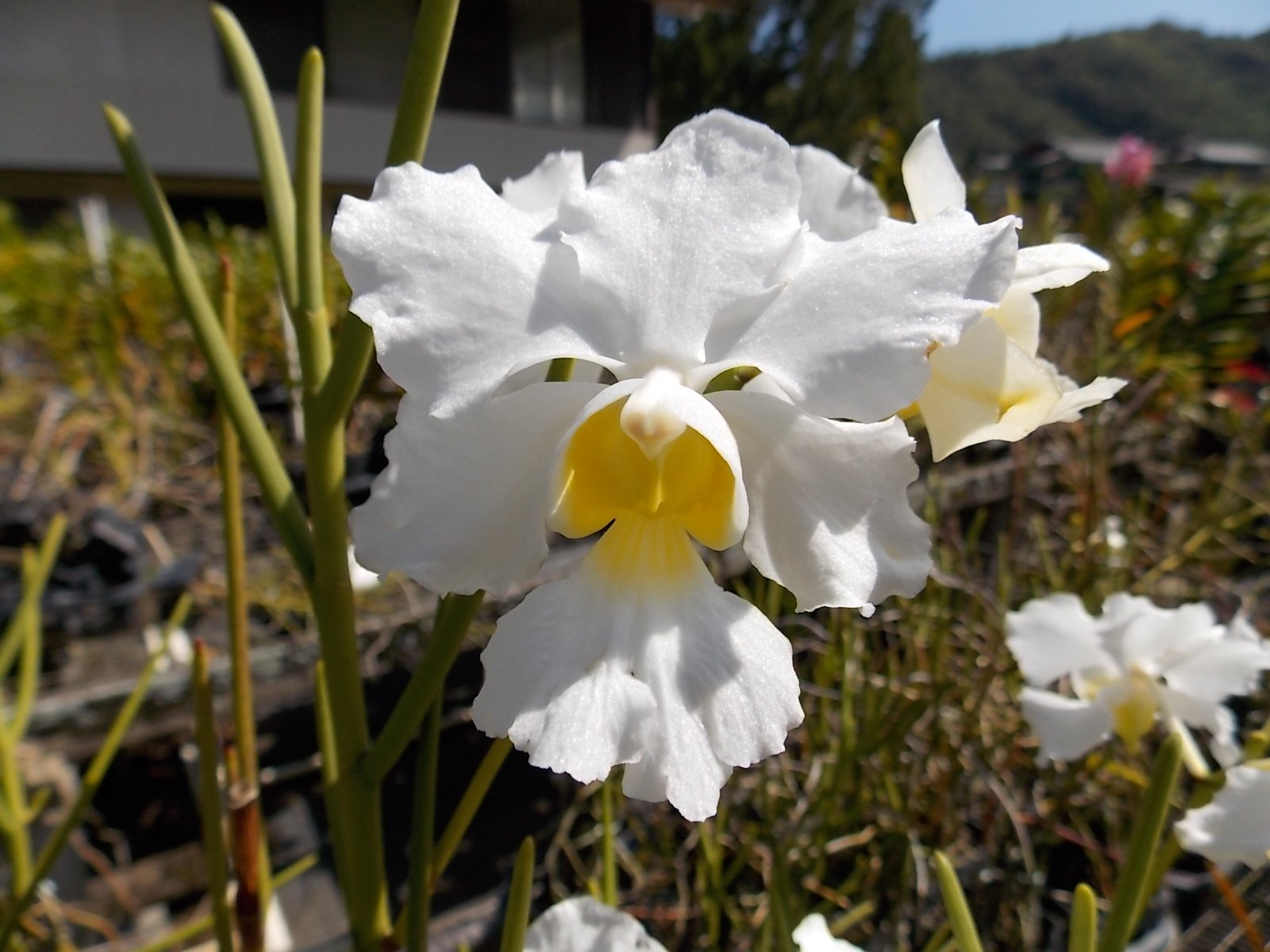 Vanda Miss Joaquim 'Diana' ALBA- Old Timer'! Must See! Limited Hard to find- orchid plant