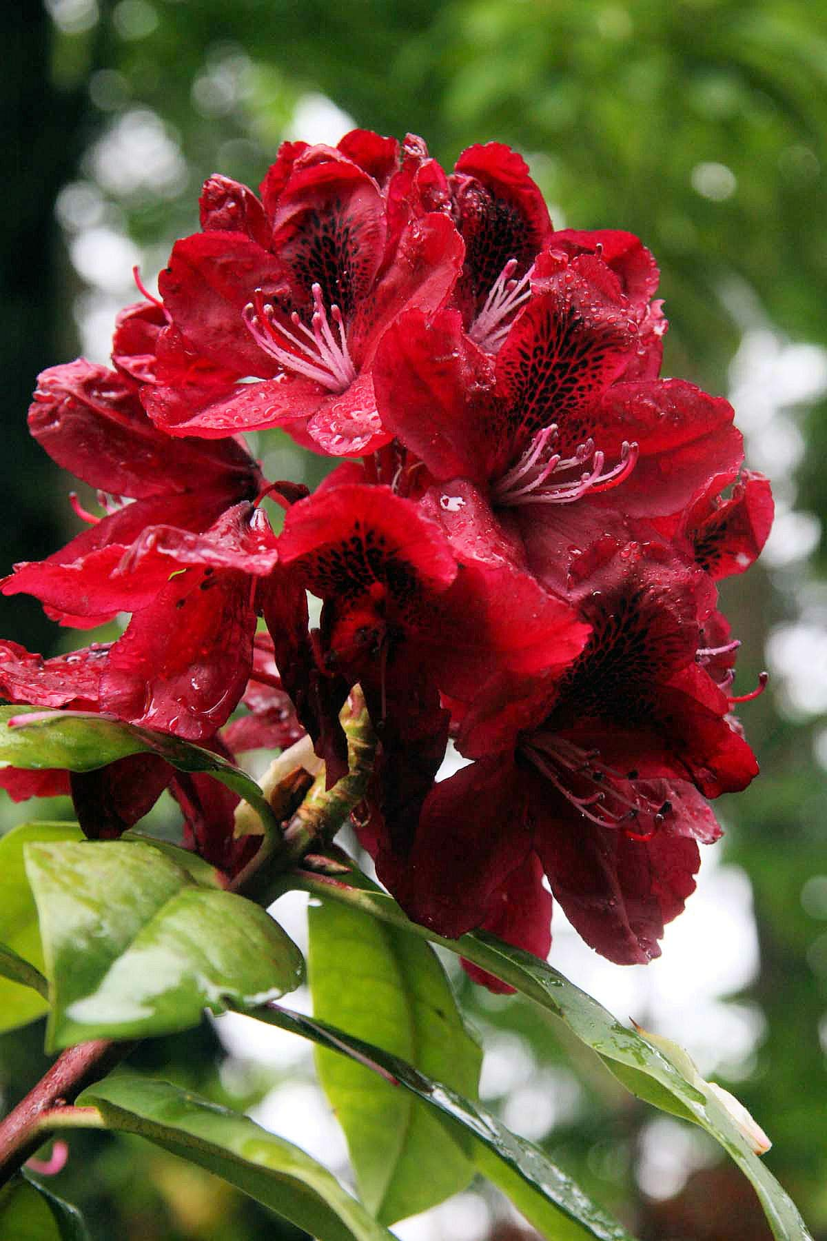 Rhododendron Moser's Maroon - Deep Red Blooms with Rays of Black on Petals - Grows Five Feet Tall (8'' to 12'' Wide Plant - Typically Two Gallon)
