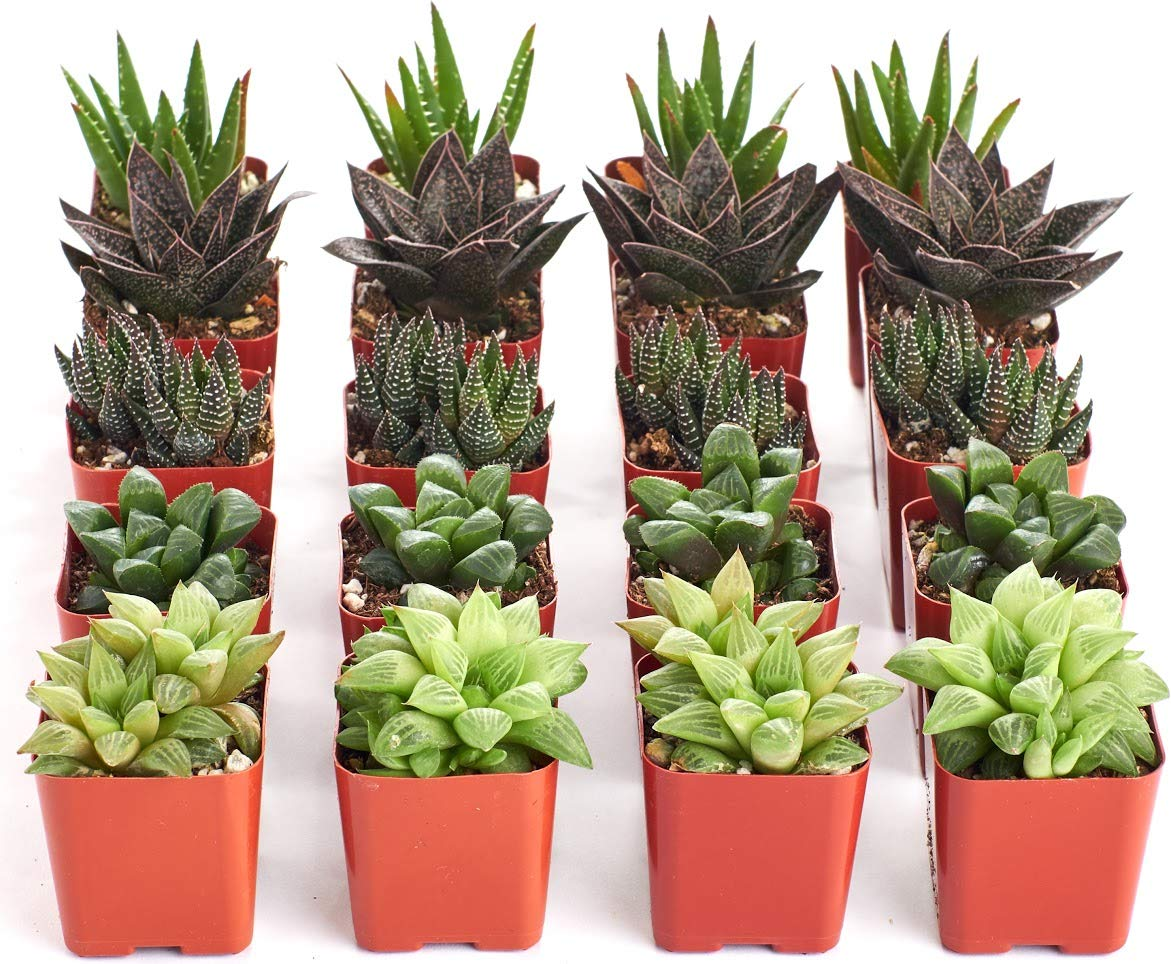 Shop Succulents | Collection of Aloe & Haworthia Succulent Plants in 2'' Grower Pots, Hand Selected, Ideal for Home Décor or Holiday Events | Collection of 20