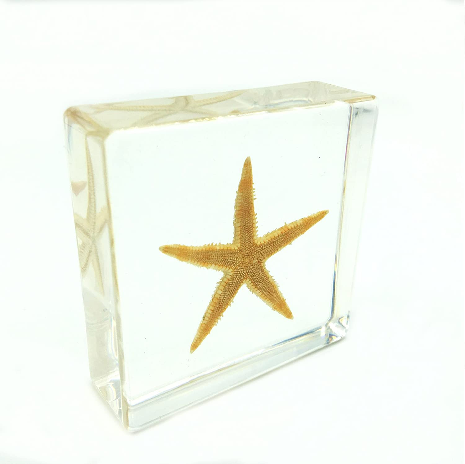 Starfish(Stelleroid)Paperweights Specimen for Science Education Paperweight for book for office for desk(3' x 3' x 1') Amazingbug